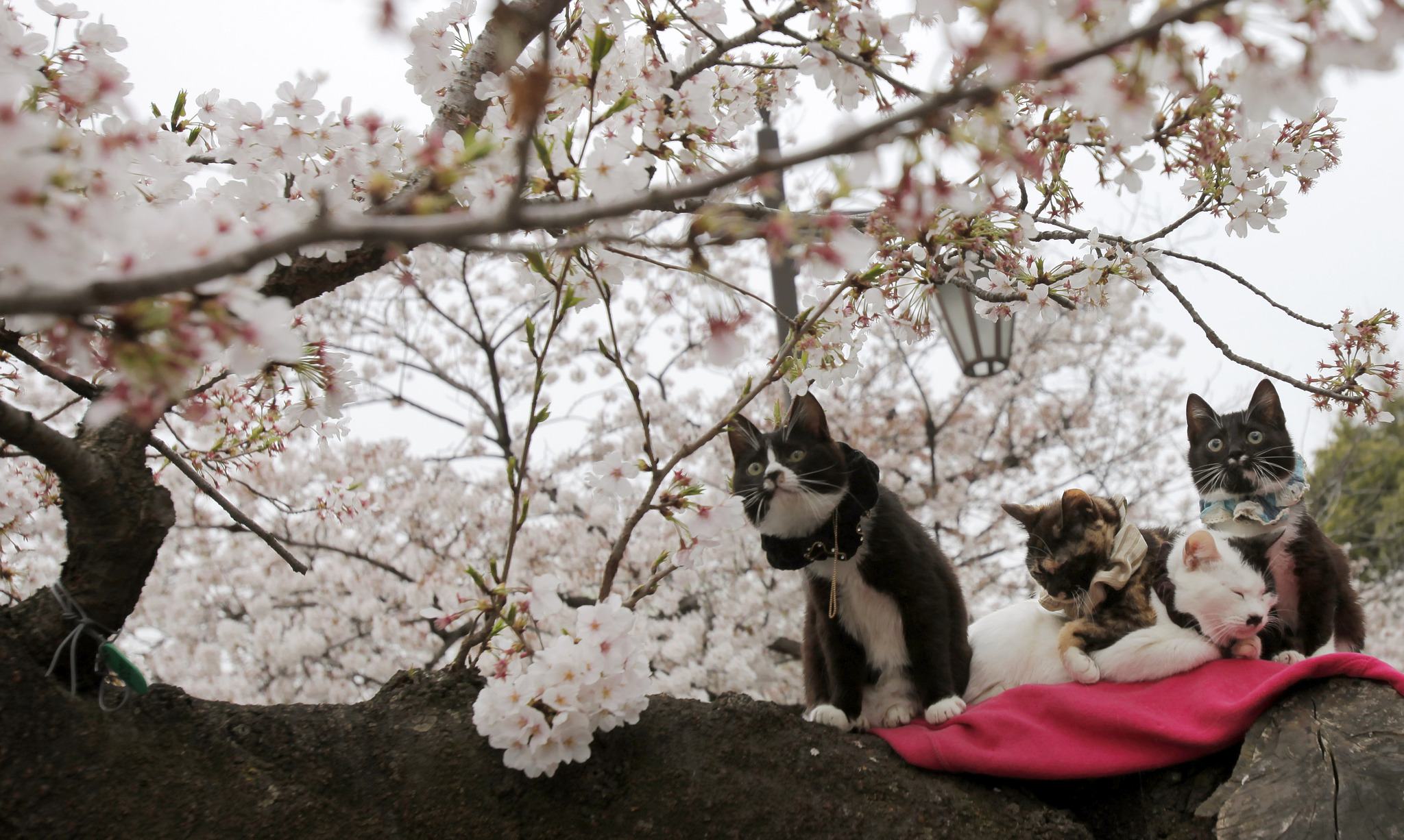 Cats sit on a branch of a cherry tree as cherry blossoms are in full bloom at a park in Tokyo Friday, March 29, 2013. (Photo by Shuji Kajiyama/AP Photo)