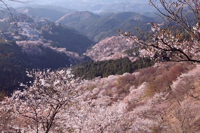 sakura_japan