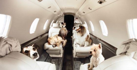 Как подготовить собаку к перелету